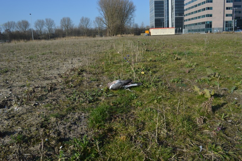 A dead dove laying on the ground where the western hillside used to lie