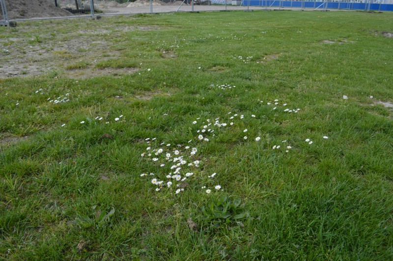 Groups of daises blooming at the north side of The New Prairie
